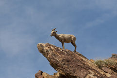 Desert Bighorn Sheep in Anza Borrego Desert. Stock Image