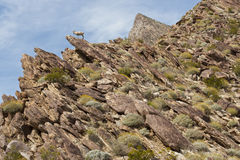 Desert Bighorn Sheep in Anza Borrego Desert. Stock Images
