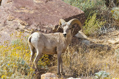 Desert Bighorn Sheep in Anza Borrego Desert. Desert Bighorn Sheep in Anza Borrego Desert State Park. California, USA stock photo