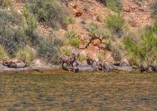Desert bighorn sheep in Arizona. Desert bighorn sheep drinking from canyon lake stock photos