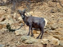 Desert Bighorn Sheep on a Cliff stock photo