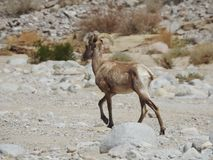 Desert Bighorn Sheep. Walking in a wash in Anza-Borrego Desert State Park, California. This one had one broken horn Royalty Free Stock Photos