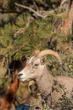 Desert Bighorn Sheep Ewe Royalty Free Stock Images