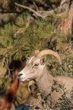 Desert Bighorn Sheep Ewe. A close up of a desert bighorn sheep ewe royalty free stock images