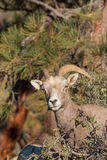 Desert Bighorn Sheep Ewe Stock Photography