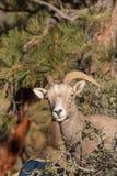 Desert Bighorn Sheep Ewe. A close up of a desert bighorn sheep ewe stock photography