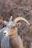 Desert Bighorn Sheep Ewe Close Up. A desert bighorn sheep ewe in Zion National Park Utah in fall stock photo