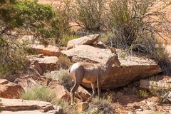 Desert Bighorn Sheep Ewe in Colorado. A desert bighorn sheep ewe in the Colorado mountains royalty free stock photos