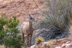 Desert Bighorn Sheep Ewe. A desert bighorn sheep ewe in the Colorado mountains stock photo