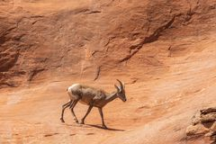 Desert Bighorn Sheep Ewe. A desert bighorn sheep ewe in the Colorado mountains royalty free stock photo
