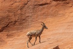 Desert Bighorn Sheep Ewe. A desert bighorn sheep ewe in the Colorado mountains royalty free stock photography