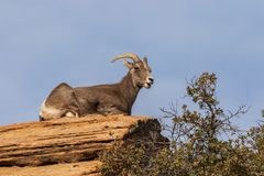 Desert Bighorn Sheep Ewe Bedded. A desert bighorn sheep ewe in the Colorado mountains royalty free stock photography