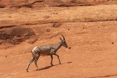Desert Bighorn Sheep Ewe on Red Rocks. A desert bighorn sheep ewe in the Colorado mountains stock photography