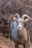 Desert Bighorn Sheep Ewe. A desert bighorn sheep ewe in Zion National Park Utah in fall royalty free stock photos