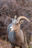 Desert Bighorn Sheep Ewe. A desert bighorn sheep ewe in Zion National Park Utah in fall stock image