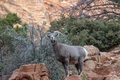 Desert Bighorn Sheep Ewe. A desert bighorn sheep ewe in Zion National Park Utah in fall stock photography