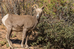 Desert Bighorn Sheep Ewe stock photos