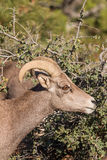 Desert Bighorn Sheep Ewe Portrait Royalty Free Stock Images