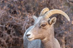 Desert Bighorn Sheep Ewe Portrait. A desert bighorn sheep ewe in Zion National Park Utah in fall royalty free stock image