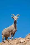 Desert Bighorn Sheep Ewe Royalty Free Stock Photos