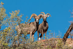 Desert Bighorn Sheep. A ewe and ram desert bighorn sheep on a ridge Stock Photo