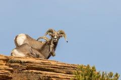 Desert Bighorn Sheep Ram and Ewe. A desert bighorn sheep ewe and ram in zion national park Utah in the rut stock images