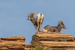 Desert Bighorn Sheep Ram and Ewe in Rut. A desert bighorn sheep ewe and ram in zion national park Utah in the rut stock photo
