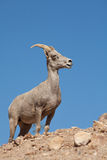 Desert Bighorn Sheep Ewe on Ridge Stock Photography