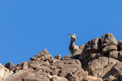 Desert bighorn Sheep Ewe on a Ridge. A desert bighorn sheep ewe on a rocky ridge stock photography
