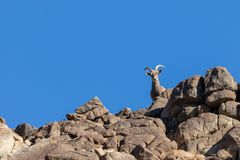 Desert Bighorn Sheep Ewe on Ridge. A desert bighorn sheep ewe on rocky ridge royalty free stock images