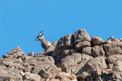 Desert Bighorn Sheep ewe on Ridge. A desert bighorn sheep ewe on a rocky ridge stock photography