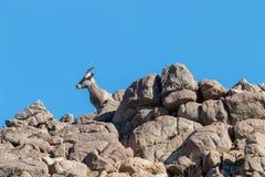 Desert Bighorn Sheep ewe on Ridge stock photography