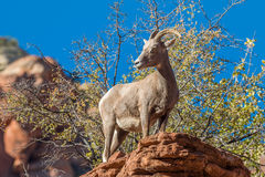 Desert Bighorn Sheep Ewe on Rock Stock Images