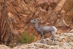 Desert Bighorn Sheep Ewe in Rocks. A desert bighorn sheep ewe in the Colorado mountains royalty free stock photos