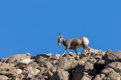 Desert bighorn Sheep Ewe in Rocks. A desert bighorn sheep ewe on a rocky ridge stock photography