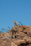 Desert Bighorn Sheep Ewe in Rocks Royalty Free Stock Images