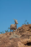 Desert Bighorn Sheep Ewe in Rocks Stock Image