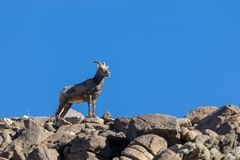 Desert Bighorn Sheep Ewe on Rocky Ridge. A desert bighorn sheep ewe on rocky ridge stock photography