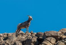 Desert Bighorn Sheep Ewe on Rocks. A desert bighorn sheep ewe on a rocky ridge stock photos