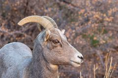 Desert Bighorn Sheep Ewe Side Portrait. A desert bighorn sheep ewe in Zion National Park Utah in fall royalty free stock photography