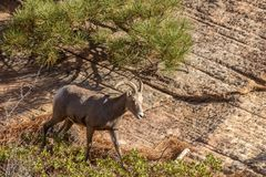 Desert Bighorn Sheep Ewe in Autumn. A desert bighorn sheep ewe in Zion National Park Utah in fall stock photography