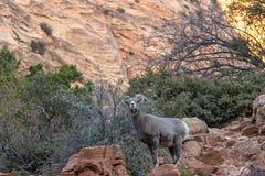 Desert Bighorn Sheep Ewe in Fall. A desert bighorn sheep ewe in Zion National Park Utah in fall royalty free stock photos