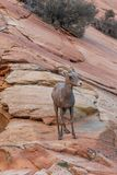 Desert Bighorn Sheep Ewe in Red Rock. A desert bighorn sheep ewe in Zion National Park Utah in fall royalty free stock photos