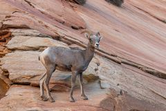 Desert Bighorn Sheep Ewe in Red Rocks. A desert bighorn sheep ewe in Zion National Park Utah in fall stock photography