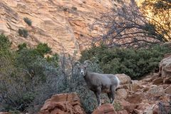 Desert Bighorn Sheep Ewe in Rocks. A desert bighorn sheep ewe in Zion National Park Utah in fall stock photography