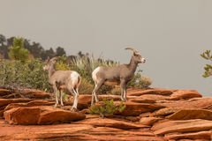 Desert Bighorn Sheep Ewes Stock Photos