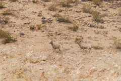Desert Bighorn Sheep Ewes Running Royalty Free Stock Photos