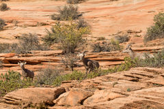 Desert Bighorn Sheep Ewes Stock Photos