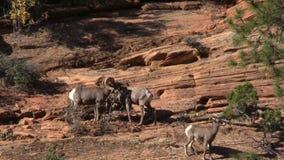 Desert Bighorn Sheep in Fall Rut. A desert bighorn sheep herd in Zion National Park Utah during the fall rut stock video