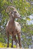 Desert Bighorn Sheep Royalty Free Stock Images